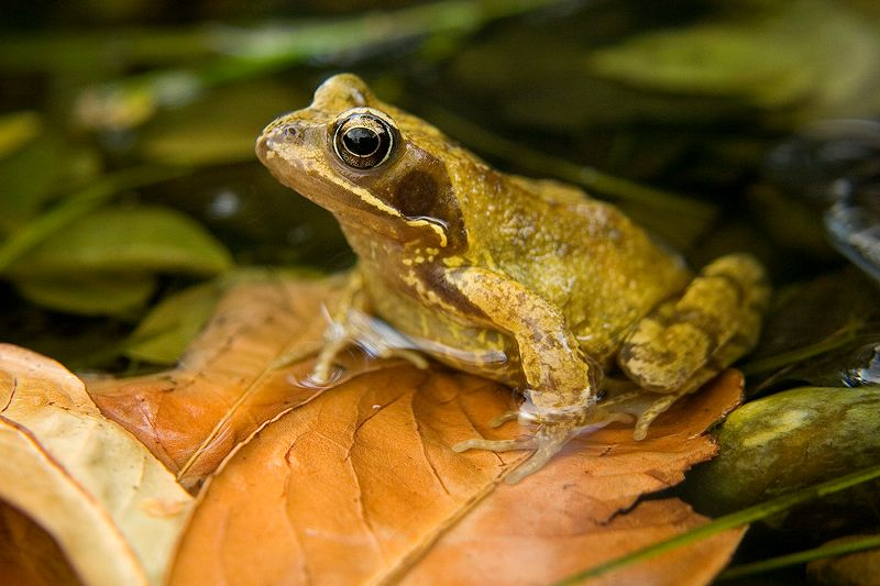 Common_frog_3_by_AngiNelson