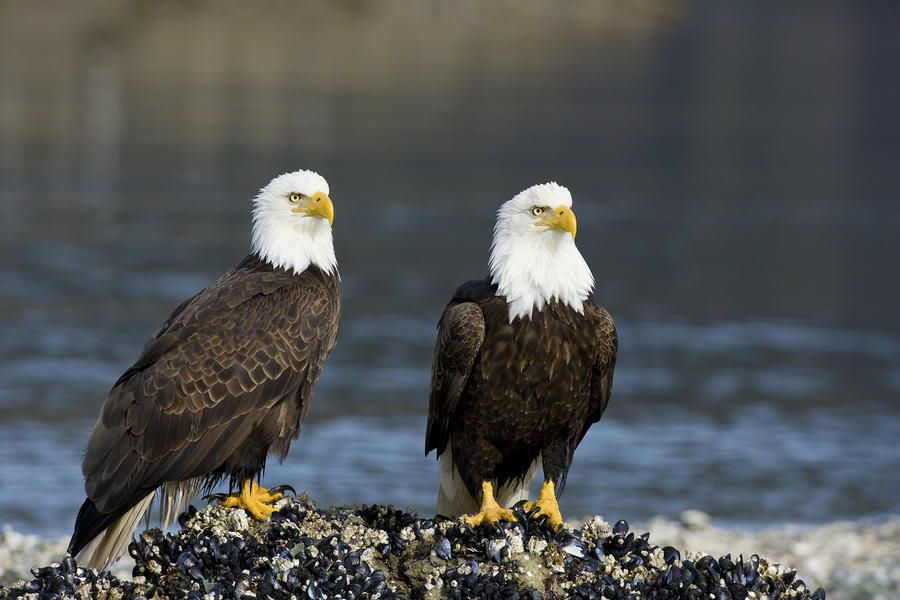 6. Bald Eagles