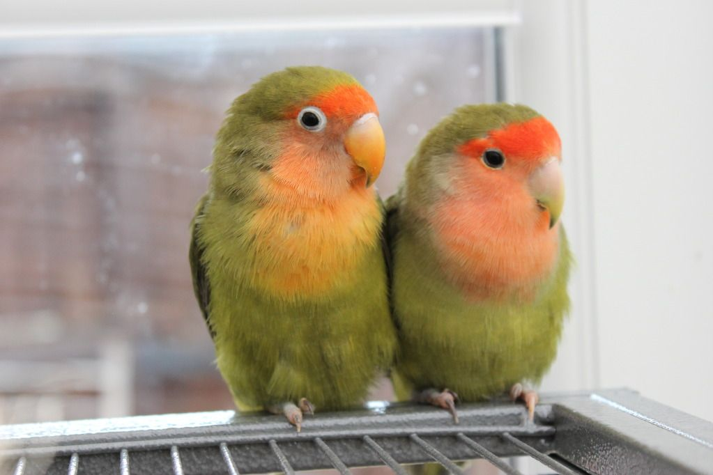 11. Hybrid Lovebirds