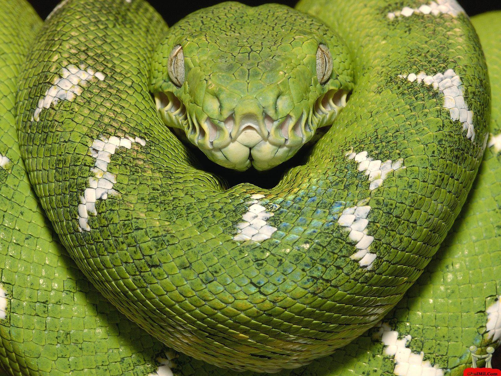 5. The Green Anaconda – 25 Ft. Long, 500 Pounds