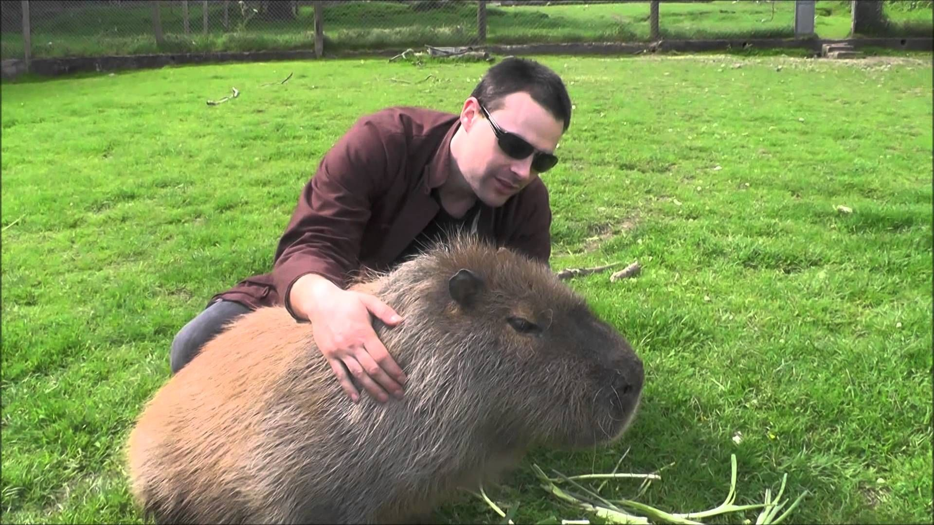 3. The Capybara – Largest Rodents In The World